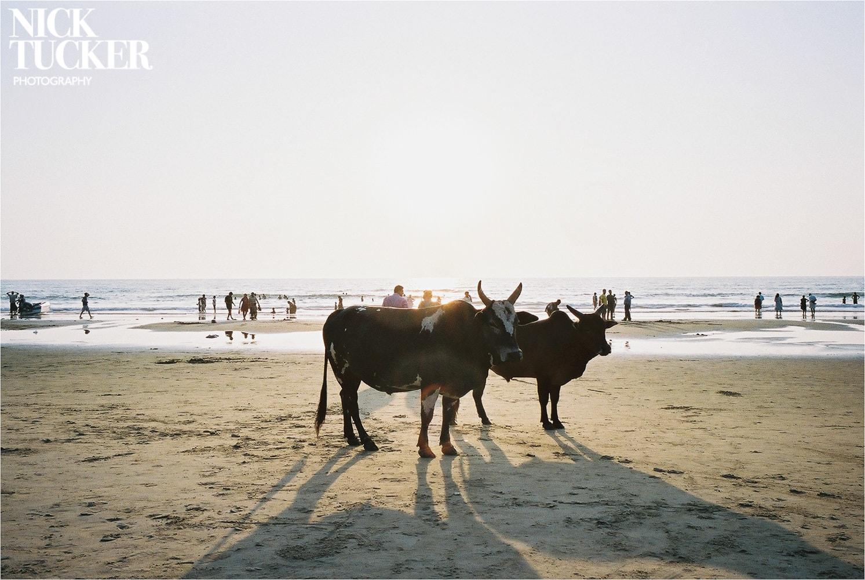 cows on main beach gokarna