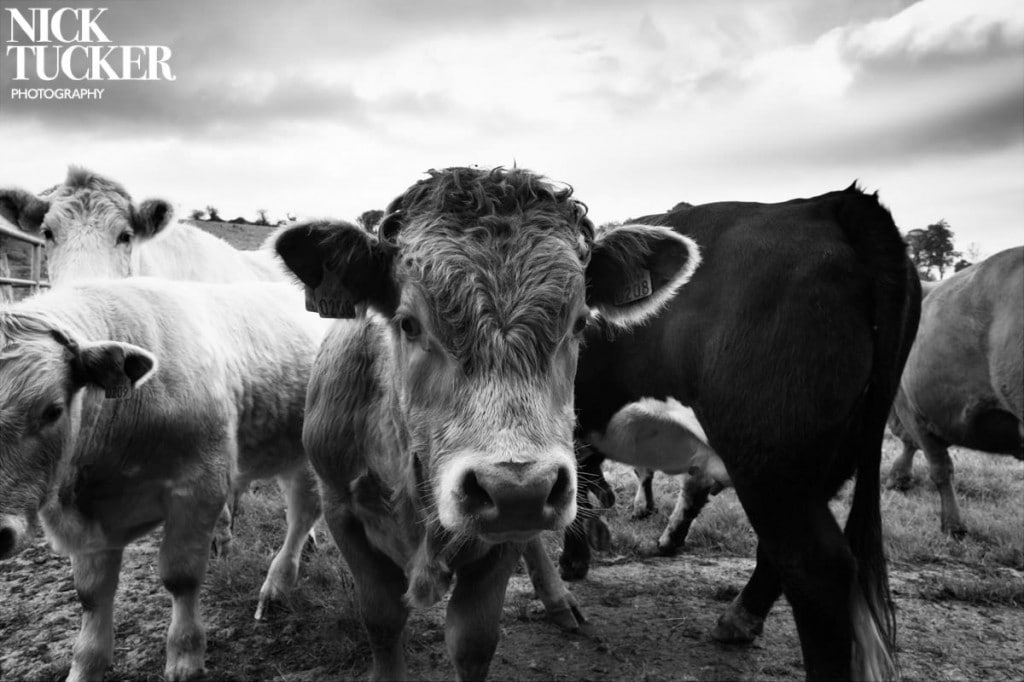 donegal bulls